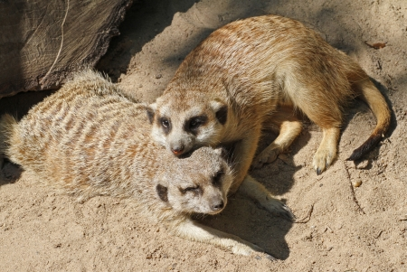 Two meerkats cuddling in the sunshine  photo