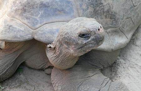 Closeup of a Galapagos tortoise