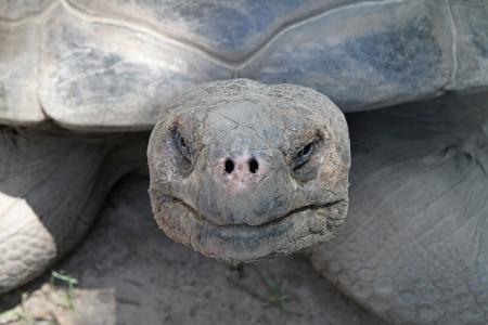 ornery: Closeup of a Galapagos tortoise
