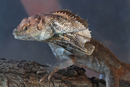 tree dweller: Frilled Lizard Perched on Tree Branch  Stock Photo