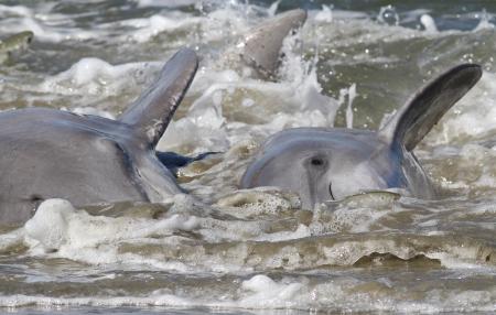 Bottlenose dolphin engaged in strand feeding photo