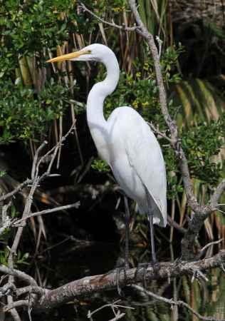 Great egret perched on a fallen tree  photo