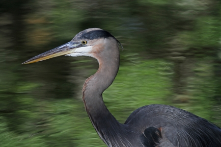 Great blue heron profiled with water background photo