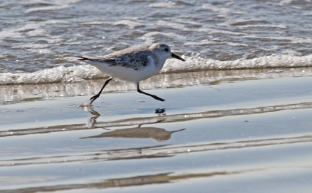 plummage: Sanderling shorebird running along ocean beach