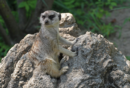 sociable: A meerkat keeps watch from a rocky outcrop