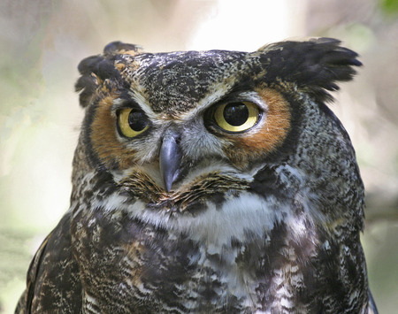 Portrait of a Great Horned Owl in dappled sunlight. Stock Photo