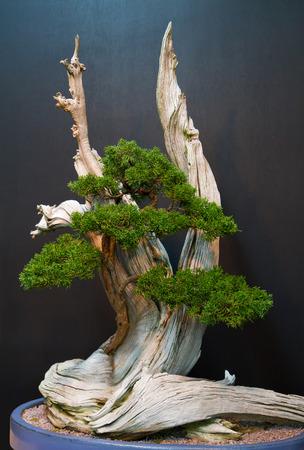 Un árbol de los bonsais con el fondo oscuro Foto de archivo - 38312456