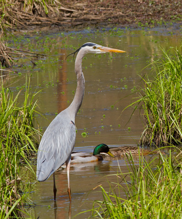 wading: Great Blue Heron wading in a wetland with mallard ducks.