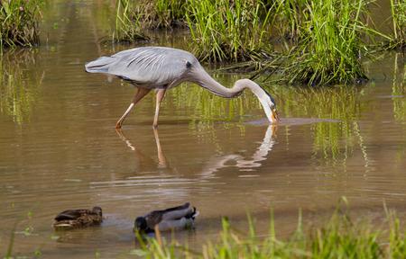 Great Blue Heron feeding in a wetland with mallard ducks.