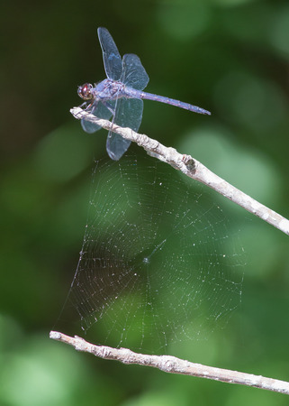 arthropod: Blue dragonfly and spider web Stock Photo