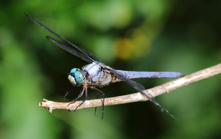 anisoptera: Closeup of blue dragonfly.