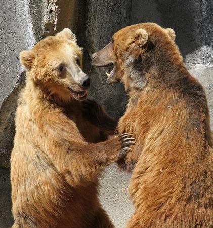 oso: Dos luchan los osos pardos de pie en posición vertical Foto de archivo