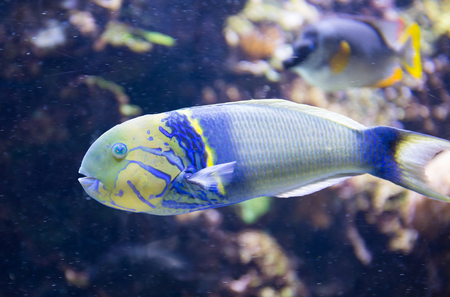 parrotfish: Tropical Parrotfish against a coral reef background. Stock Photo
