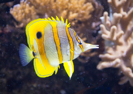 copperband: Copperband butterfly fish against a coral reef background.