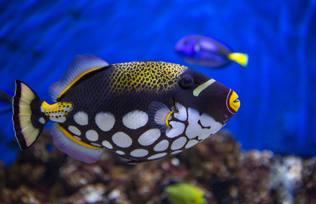 Clown Trigger fish against a coral reef background.