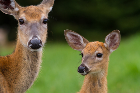 babies: Closeup of whitetail deer doe and fawn framed by dense forest.