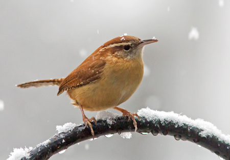 Closeup of a Carolina Wren braving a rare Southern snowstorm.