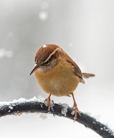 Closeup of a Carolina Wren braving a rare Southern snowstorm.