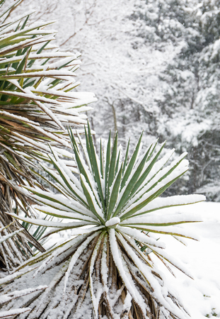 Closeup of a yucca plant coated in snow. Stock Photo