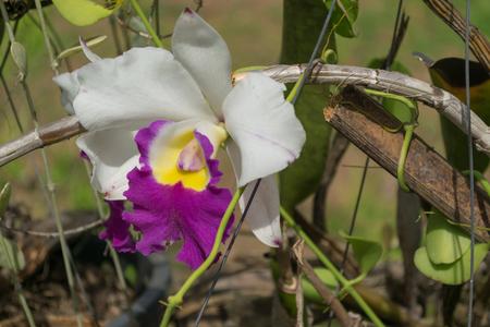 cattleya: Close up beautiful orchid (Cattleya). Stock Photo