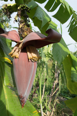Banana blossom and bunch on tree in the garden at Thailand