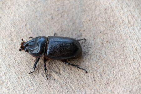 Asian rhinoceros beetle on Concrete walkway