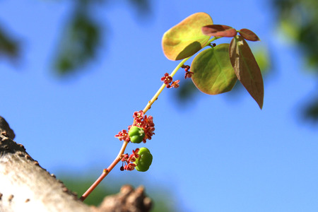 grosella: Parte de la grosella espinosa