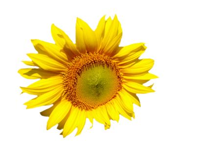 helianthus: sunflower,Helianthus annuus