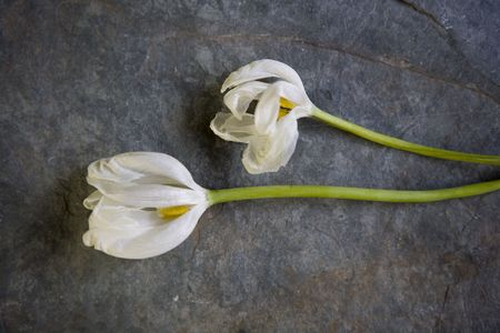 Two white tulips laying on gray slate.