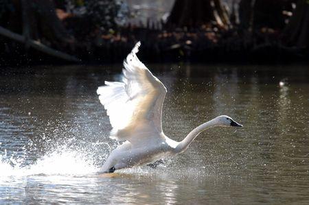 Swab taking flight
