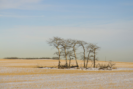 Five trees standing in force on a snow covered farmers field Reklamní fotografie