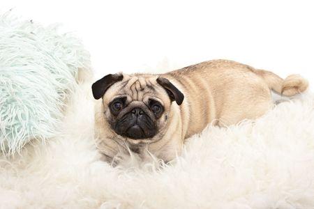 Sweet pug is watching  photo
