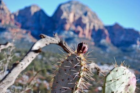 Prickly pear fruit is featured with red rock mountains in the background