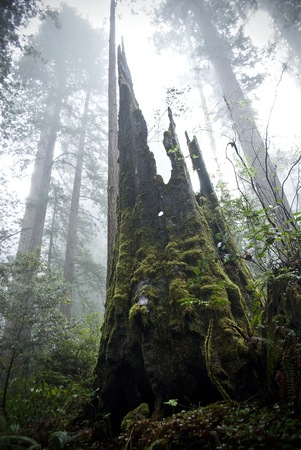 A dangerous looking, sharp tree stump stands tall in the foggy forest Banque d'images
