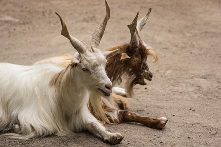 adjacent: 2 Girgentana goats are adjacent