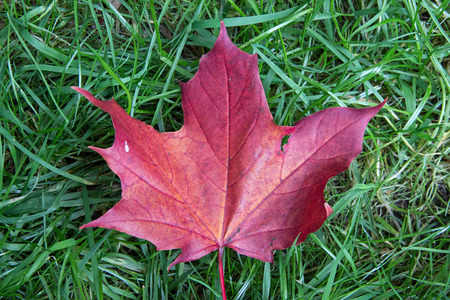 reddish: Reddish brown maple leaf in the grass