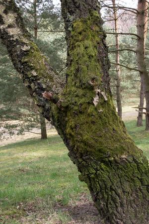 heathland: Tree With moss overgrown in Fischbeker heathland