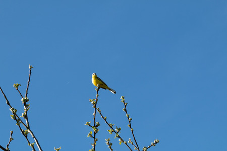 wagtail: Headed Wagtail on a branch in spring Stock Photo
