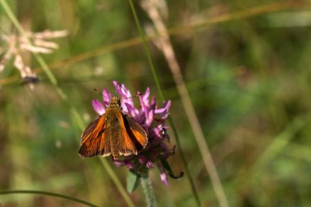 Rust colored skipper on a flower, macro