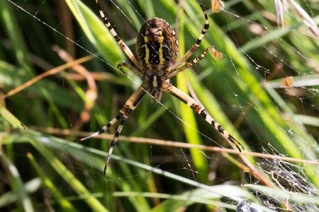 heathland: Bottom of a wasp spider out of the Wulmstorfer heathland