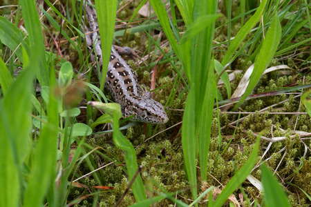 viviparous lizard: Small viviparous lizard front on a meadow Stock Photo