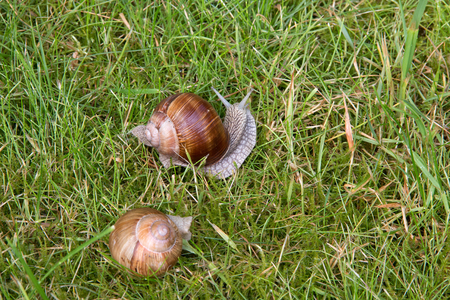 protected plant: Two Roman snails on a meadow Stock Photo