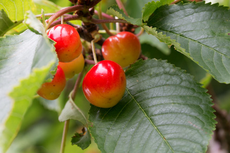 zweig: Several cherries on a branch Stock Photo