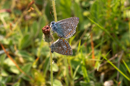 Two Common Blue during mating in spring