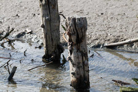 zweig: Wooden stakes with snails in the Wadden sea