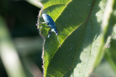 phyllobius: Nettle weevil on a leaf in spring