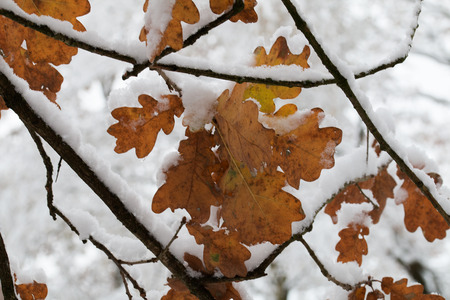 zweig: Snow covered foliage leaves on a branch