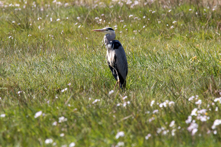 Gray heron standing on a meadow