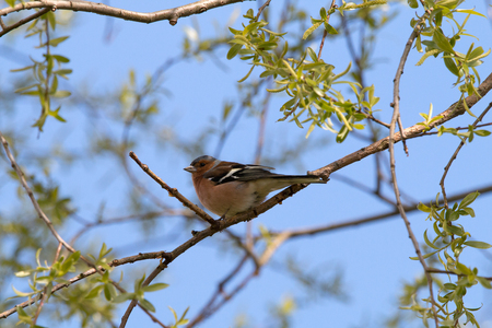Chaffinch laterally on a twig