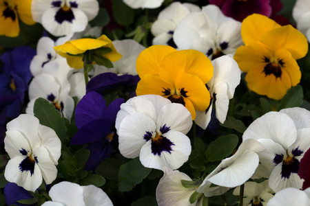 Various colored horn violet flowers, macro